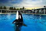 Killer whale at Sea World